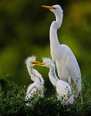 Adult Egret with Chicks (Let there be light (Andy)) Tags: birds texas egret rookery nesting bolivarpeninsula highisland texasbirds featheryfriday houstonaudubon avianexcellence uppertexascoast smithoaks globalbirdtrekkers slbnesting