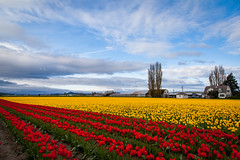 Red and yellow tulip field against beautiful blue sky (Kanonsky) Tags: seattle morning red sky mountain plant flower color tree nature floral beautiful beauty field yellow bulb clouds barn landscape photography washington leaf spring flora colorful tulips bright cloudy blossom farm vibrant seasonal harvest scenic vivid row petal valley bloom agriculture springtime