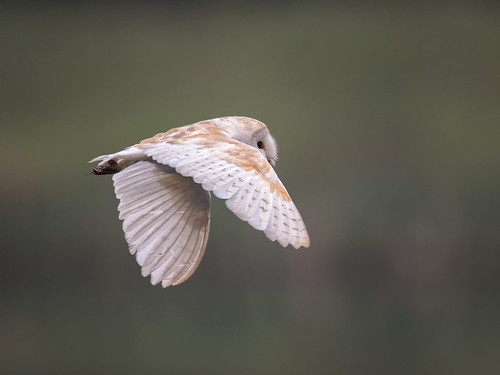 Barn Owl early morning