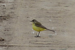 Schafstelze (MyWorldsView) Tags: bird nature animal yellow closeup tail natur beak feathers gelb tier vogel schnabel wagtail schwanz federn