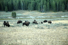 002 - Bison herd by road (Scott Shetrone) Tags: animals events places yellowstonenationalpark bison mammals 7th anniversaries wymoing