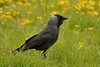Jackdaw. (stonefaction) Tags: park nature birds scotland riverside dundee wildlife faved
