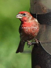 House-finch-breeding-male_8452 (Warbler_King) Tags: finches housefinch illinoisbirds housefinchbreedingmale