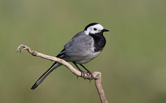 "European ""White"" Wagtail"