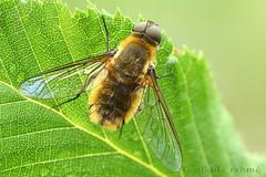 Bee fly (Nikola Rahme) Tags: naturallight flies diptera macrophotography beefly focusstack fieldshooting bombyliidae canoneos5dmarkii canonmpe65mmf28 zerenestacker manfrotto055protripod newportm423 sunwayfotoquickreleasesystem