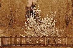 CSC_5548l (agnese_mari) Tags: tree primavera spring nikon albero seppia d3100