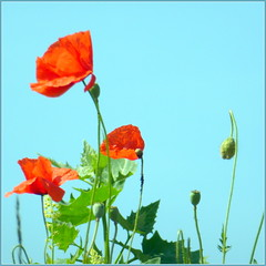 ~ Poppies in Blue Sky ~