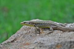 Darevskia rudis (davull) Tags: wild scale animal wildlife lizard biology vertebrate zoology herpetology plak hayvan pul squamata kertenkele srngen biyo
