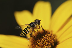a groovy kind of love (Howard L.) Tags: canon hoverfly howd oaklandlake oaklandgardens 100mmf28lmacro 5dmiii