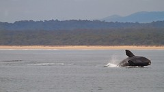 Right Whale breach (Geoff Main) Tags: australia nsw whale southernrightwhale breach nswsouthcoast broulee canonef100400f4556lisusm canon7d