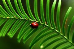 ladybug... (Eggii) Tags: light green nikon walk ladybug lodz pentacon50mmf18 nikond90 eggii ogródbotanicznylodz