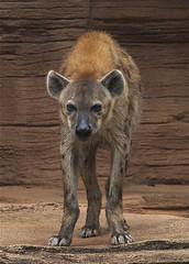 The stare (ucumari photography) Tags: sc garden zoo october south columbia carolina hyena riverbanks 2013 6595 specanimal ucumariphotography