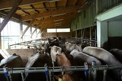 Brown Swiss (Braunvieh) Dairy with Lely Robotic Milker (J. Nisly) Tags: obersterreich dairybarn fleckvieh dairyfarm simmental upperaustria brownswiss dairycattle roboticmilker milchkhe milchbetrieb melkroboter