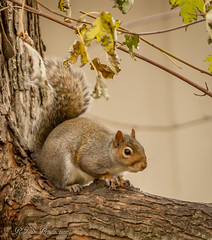 Cute Squirrel (Rick Smotherman) Tags: wood morning november autumn trees stpeters fall nature canon garden outdoors morninglight backyard squirrel cloudy fallcolors wildlife overcast 7d cloudysky canon300mmf4l canon7d