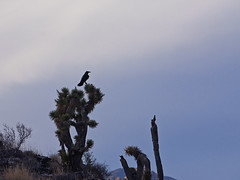 024151-54-Quoth the Raven-2 (Jim would like to get on Explore this year) Tags: pictures redrockcanyon red sky southwest bird nature animal america photography nationalpark desert photos nevada pic noflash american americana crow raven mojavedesert jashuatree 2013 redrrockcanyon ilobsterit