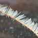 White Fern