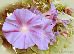 Ipomea in soft (PheCrew) Tags: flower macro photoshop soft fiore ipomea soken phecrew blinkagain