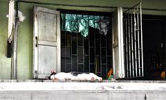 Blending in, Wat Pathum Wanaram, Bangkok, Thailand (MJ Reilly) Tags: door old green window cat thailand temple nikon sleep bangkok curtain stretch lie thai rest d90 watpathumwanaram watpathum martinreilly