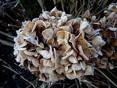 Hydrange hiver (bowb59) Tags: hiver jardin hydrangea gel givre hortensia macrophylla