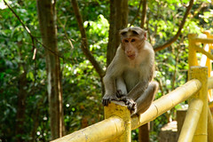 Bonnet Macaque from Athirappally (Abhinav R) Tags: nikkor bonnet mammals macaque 1685mm nikond7100