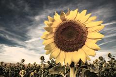 Girasol sol sol (Rubn Toquero) Tags: luz sol canon countryside cielo sunflower campo girasol palencia castillaylen sembrado erre ruhey rubntoquerogonzlez rubetoq
