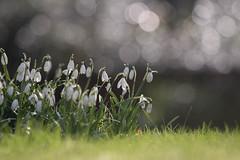 Snowdrops (jillyspoon) Tags: grass canon spring bokeh snowdrops clump 70d canon70d