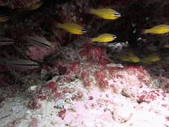 IMG_9150 (milewski) Tags: ocean fish water underwater salt scuba diving tropical scubadiving saltwater tropicalfish underwaterphotography oceanphotography