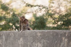 Expressions (DylanHaskin) Tags: travel nature animals canon outdoors wildlife 5d monkeys jaipur monkeytemple lexar travelphotography dylanhaskin {vision}:{mountain}=0659 {vision}:{outdoor}=0922 {vision}:{sky}=0659