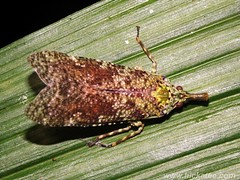 Lantern Bug - (Fulgoridae) (Hickatee) Tags: forest rainforest belize wildlife culture toledo jungle puntagorda hickatee lanternbug fulgoridae toledodistrict hickateecottages hickateebelize hickateepuntagorda