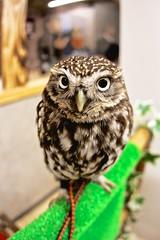 Please don't be scared (xio_olx) Tags: bird owl birdofprey littleowl sigma15mmf28exdgdiagonalfisheye    eoskissx4