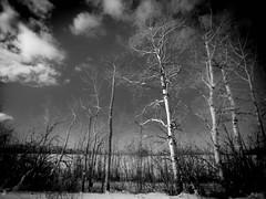 Standing on Guard (howardpa58) Tags: trees winter sky blackandwhite bw snow clouds landscape alberta reddeer paulhoward reddeercounty paulhowardphotography