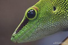 Gecko (DMeadows) Tags: world macro green eye tourism animal animals butterfly insect scotland edinburgh wildlife tourist lizard gecko captive attraction captivity davidmeadows dmeadows davidameadows dameadows