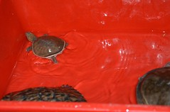 Tree Foundation visit (annecdaugherty) Tags: india fishing turtle release volunteer marinabeach chennai trawler ngo hatchling hatchery oliveridley treefoundation