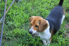 IMG_5037 (kaos_farm) Tags: family dog beagle kaosfarm
