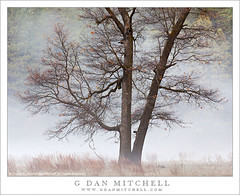 Winter Oak and Fog (G Dan Mitchell) Tags: california park morning travel winter usa mountain tree nature fog america print landscape oak seasons bare nevada north stock scenic meadow sierra national valley yosemite license range drift dormant
