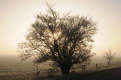 Blhender Baum, Kirschpflaume, Myrobalane (Prunus cerasifera) am Fnfmhlendeich; Meggerdorf, Stapelholm (5) (Chironius) Tags: trees tree fog germany deutschland rboles nebel boom arbres rbol alemania albero blte bume allemagne arbre rvore niebla baum brouillard trd germania schleswigholstein prunus rosales ogie baumblte aa  pomie rosaceae   niemcy rosoideae rosids   stapelholm kirschpflaume meggerdorf rosengewchse pomienie rosenartige amygdaleae steinobstgewchse szlezwigholsztyn liwawiniowa fabids spriraeoideae