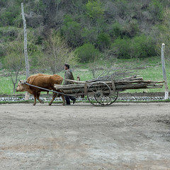 BOEUF TIRANT UN CHARIOT REMPLI DE BOIS JUNG PYONG RI VILLAGE, COREE DU NORD (Eric Lafforgue Photography) Tags: wood people man color colour male work square person countryside cow asia trolley labor fulllength korea communism travail labour greenery effort asie coree pulling campagne personne couleur humanbeing chariot communisme bois homme verdure vache northkorea oxe dprk boeuf carre inprofile deprofil colorpicture squarepicture enpied democraticpeoplesrepublicofkorea tirer labeur etrehumain cadrageenpied coreedunord ruralenvironment rpdc northhamgyongprovince republiquepopulairedemocratiquedecoree myongchoncounty jungpyongrivillage imagecaree