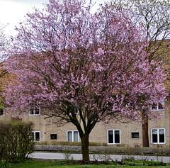 Spring (osto) Tags: denmark europa sony zealand dslr scandinavia danmark a300 sjlland osto alpha300 april2014