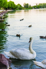 Swan and ducks (icanhascamera) Tags: swan duck lake water balaton pentax k50 ichc dal 50200