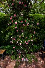 Rose Garden (Yatsu, Chiba, Japan) (t-mizo) Tags: flowers plants plant flower japan canon rosa chiba  canon5d  rosegarden  lr lightroom  narashino   canon2470mm yatsu   canon2470mmf4l canon2470mmf4 eos5d3  ef2470mmf4lisusm lr5 ef2470mmf4l yatsurosegarden canon2470f4l eos5dmarkiii 5d3 canon2470f4 5dmark3 canon5d3 lightroom5 canon2470mmf4lisusm eos5dmark3 5dmarkiiii canon24704l canon2470mmf4lis canon24704