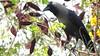 My Friend Mr. Crow! (Shomirroy) Tags: black tree gray shades crow copperpod nikoncoolpixp100