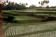 26-242 (ndpa / s. lundeen, archivist) Tags: bali color film rural 35mm indonesia landscape 26 farm nick terraces farmland southpacific ricepaddies 1970s 1972 indonesian ricepaddy balinese dewolf oceania pacificislands terraced nickdewolf photographbynickdewolf terracedfarmland reel26