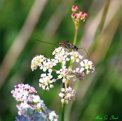 Schlupfwespe_045 (Max G. Paul) Tags: summer plants macro leaves animals insect tiere wasp blossom sommer natur pflanzen makro blatt blüte insekten wespe schlupfwespe