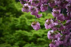 Shinjuku Gyoen National Garden (Iyhon Chiu) Tags: japan tokyo spring shinjuku d750  cherryblossom  sakura    shinjukugyoen        2015   shinjukugyoennationalgarden