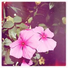(meeeeeeeeeel) Tags: squareformat gotas waterdrop corderosa rosa pink vinca hipstamatic flores flowers bettiexllens inas1935film redeyegelflash