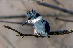Belted Kingfisher (soupie1441) Tags: london ontario canada belted kingfisher animal nikon d7200 nikkor 200500mm wild life wildlife nature blue perched north thames river upper