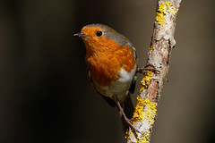 _F0A6126.jpg (Kico Lopez) Tags: erithacusrubecula galicia lugo miño petirrojo robin spain aves birds rio