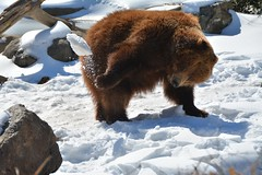 Snowball fight! (raewynp) Tags: bronxzoo bear brownbear ursusarctos snow playing snowball throwing winter