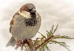 Sparrow on snowy cedar bush  DSC_0046 Moineau assis sur buisson de cèdre plein de neige (Nicole Nicky (mostly off, temporarily)) Tags: moineau sparrow bird oiseau hiver winter neige snow nature nikon white blanc canada quebec