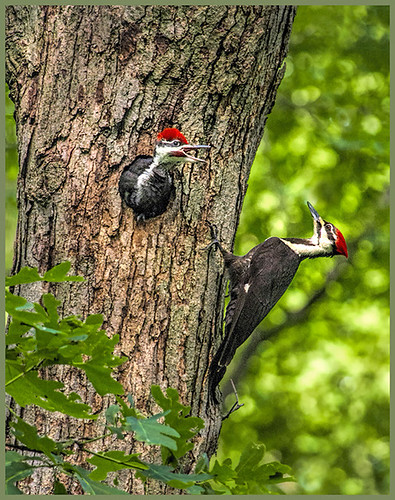 36-Pileated Woodpecker Nest